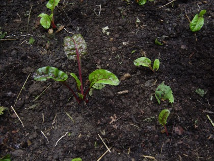 Freshly planted Rainbow Chard