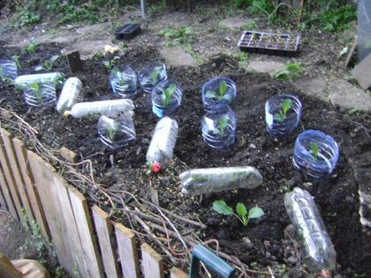 Cloches made from used drinks bottles to protect from snails and slugs