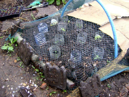 Cloches and netting to protect young plants
