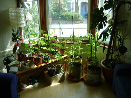 Tomato plants in the front room