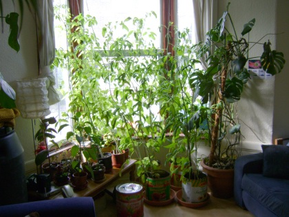Tomato curtains in the front room