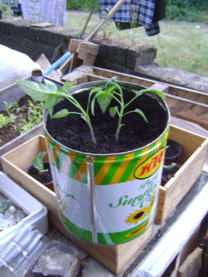 Tomatoes planted in recycled oil drum