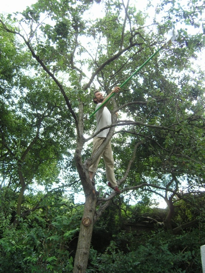 Robin picking plums using telescopic fruit harvesting device