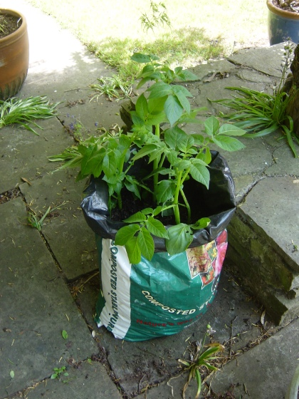 Potatoes growing in an old plastic bag